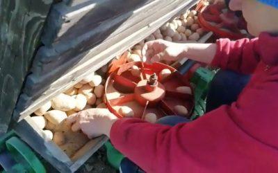 Kartoffeln stecken